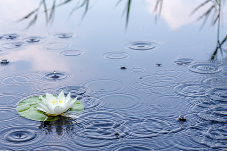 Beautiful white water lily in a clear lake in the rain Stock Photo