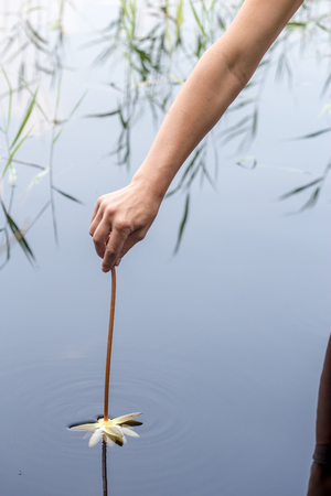 A person plunges beautiful white water lily in a clean forest lake Stock Photo