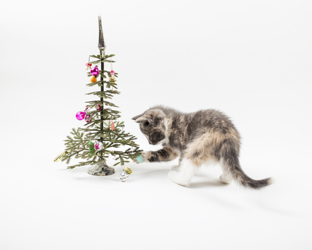 Cute kitten playing with a tricolor colored toys which hang on a small an artificial the Christmas tree. On a white background