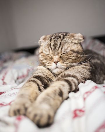 Scottish cat sleeping sweet time paw stretched out in bed. Close-up Stock Photo