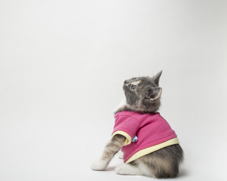 Cute of playful the kitten in scarlet shirt on white background