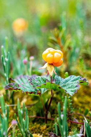 Ripe, tasty northern berry cloudberry Rubus chamaemorus, in a swamp, in the forest, on a summer day. Macro.