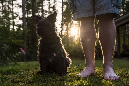 Cute shaggy schnauzer obediently sits next to his masters feet, in the courtyard of the house, at sunset, on a summer evening. Walking and pet care.