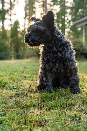 Cute shaggy schnauzer sits in the yard of the house and looks with interest to the side, against a blurry background of greenery, at sunset..