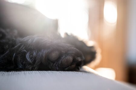 Soft shaggy paws of a black schnauzer, who is sleeping on a sofa, in the natural light from the window, on a blurred background.. 版權商用圖片