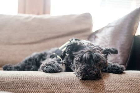 Cute shaggy schnauzer calmly and relaxedly lies on a soft sofa, he is tired after a walk and rests, in natural light from the window, on a blurred background.