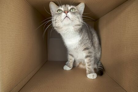 Cute, cautious cat sits in a large cardboard box and looks with curiosity and interest.