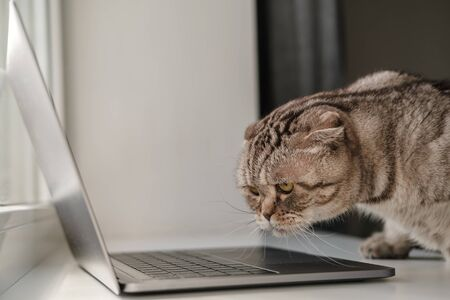 Excited cat Scottish Fold studies the laptop with interest. Lifestyle.
