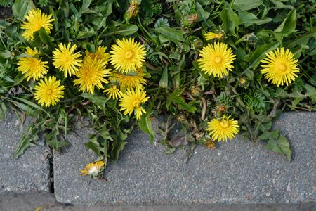 Yellow taraxacum dandelion blooming near the curb, in spring time. Top view.