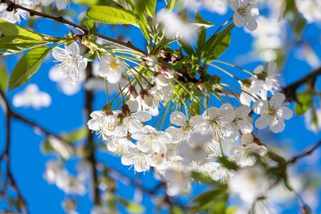 Cherry blossoms against the blue sky in the sunlight. Close-up. Standard-Bild