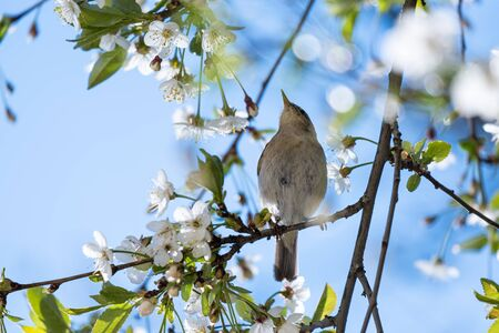 Little bird Booted warbler on a flowering branch of cherry, against the blue sky, on a sunny, spring day. Wildlife.