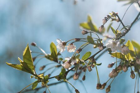 Branch of blooming cherry, in the rays of the spring sun, against a blue sky. Standard-Bild