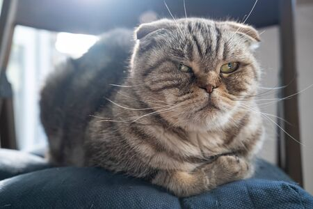 Upset, resentful cat Scottish Fold lies on a chair and looks displeased, against a blurry background. Close-up.