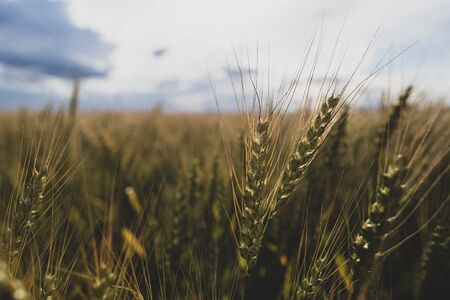 Spica of wheat Triticum against the background of a field and cloudy sky. Agriculture. Bountiful harvest.