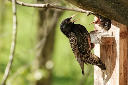 Common starling sits on a birdhouse and feeds a chick, on a blurry background, in the spring sunny morning. Standard-Bild