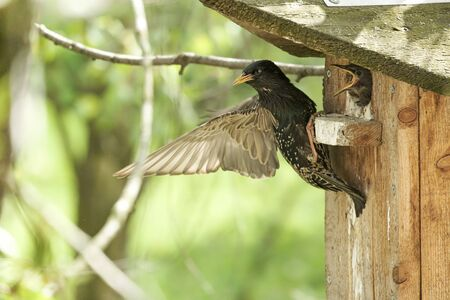 Common starling sits on the birdhouse after feeding the chick, flaps its wing and looks sternly.