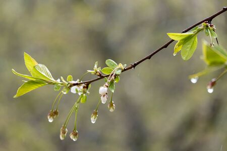 Beautiful branch with unopened buds of cherry blossoms in the rain, on a blurry background.