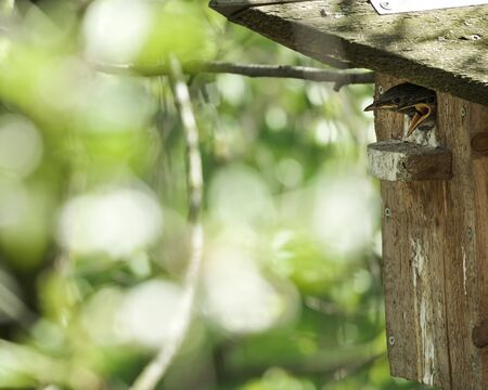 Two chicks of an common starling peep out of the birdhouse, shout and demand food, on a spring sunny day. Standard-Bild