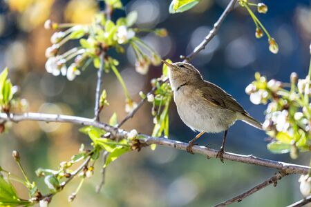 Little curious bird Booted warbler on a branch, on a blurry background of cherry flowers, on a sunny, spring day. Wildlife.