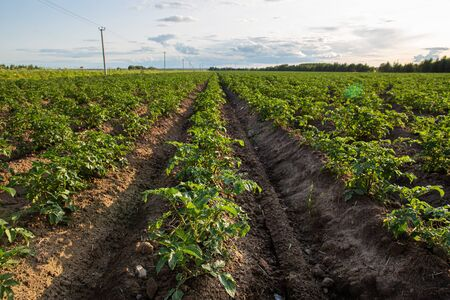 Potato fields with rows of green haulm, against the sky with clouds. Agriculture. Bountiful harvest.