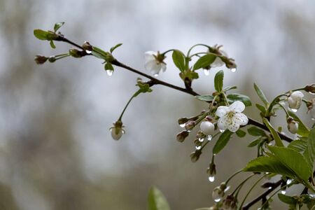Beautiful branch of a blossoming cherry in transparent raindrops, on a blurry background. Standard-Bild