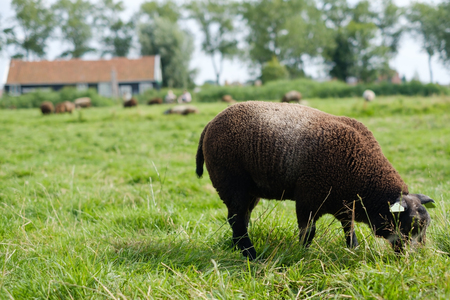 Brown sheep walking on a farm outdoor, eating green grass in field.