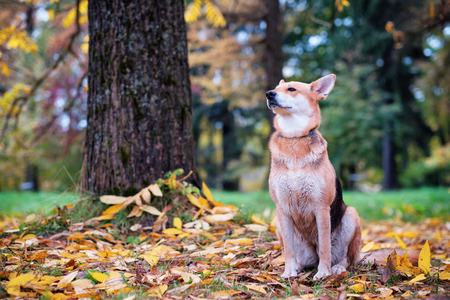 The mongrel dog sits in the autumn park and enjoys a walk. Around the fallen yellow leaves.