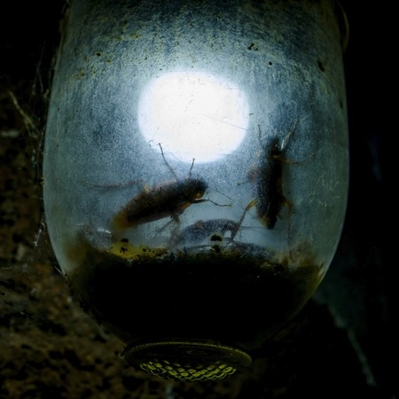 Two huge bugs creep along the lamp. Cockroachs sitting in lamp like in trap Stock Photo