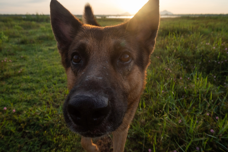 German Shepherd walking in early morning on summer meadow.
