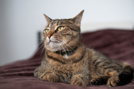 tabby cat lying on the bed and looking aside with proud and selfish view