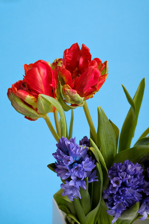 Red tulips and blue hyacinth flowers on colored background.