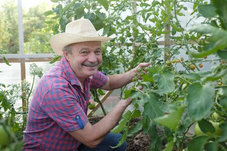 Fermier supérieur hispanique vérifiant ses tomates dans une serre chaude Banque d'images