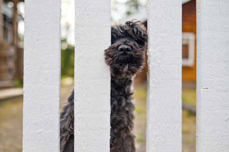 bBack schnauzer dog sitting waiting for owner near white fence.