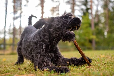 Black schnauzer dog is playing with a stick in the summer day