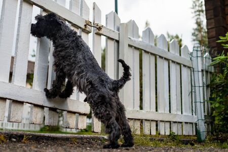 Miniature black schnauzer waiting for owner behind fence Stockfoto - 133486770