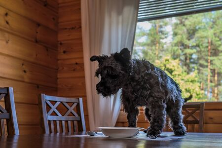 Cute small black dog eating tasty cookies on kitchen table