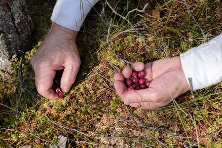 Man hands picking cranberries in the forest