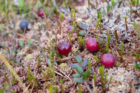 Fresh red cranberry on moss. Macro view