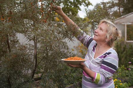 Caucasian woman picking sea buckthorn from tree in the garden Banco de Imagens
