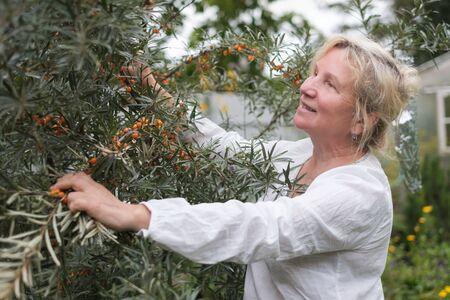 Mature caucasian woman checking sea buckthorn on tree