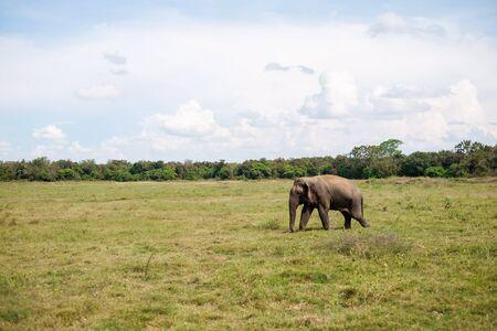 One asian wild elephant walking alone on the meadow