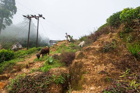 Indian goat grazing on grass in hill