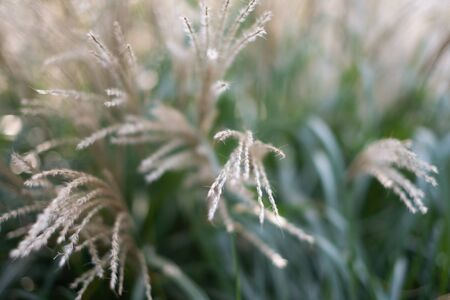 japanese silver grass or miscanthus sinensis blurred view on summer time Фото со стока