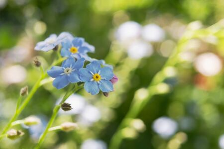 Beautiful little blue forget me not flowers on summer day