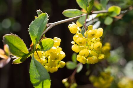 Blooming yellow flowers of barberry or Berberis. Close up view