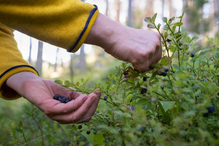 Female hands picking wild blueberries. Close up
