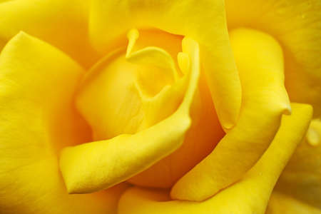 Beautiful delicate yellow flower of rose, close up. Banque d'images