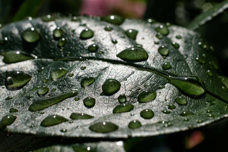 Green leaf with drops of water after rain Banque d'images