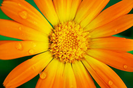 Close up shot of orange calendula flower Banque d'images
