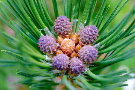 pine cone growing in spring. Close up view Banque d'images